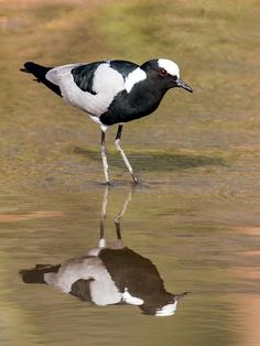 Blacksmith Lapwing - Vanellus armatus; occurs commonly from Kenya through central Tanzania to southern and southwestern Africa.