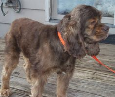 Haze141 is an #adoptable Cocker Spaniel w/ Shorewood Cocker Rescue, Inc. in #TwinLakes, #Wisconsin --- a very handsome 4yo who came to us from a breeder. The markings on his face are amazing. Haze gets along very well with the dogs in his foster home & loves everyone he meets ... his little tail wags constantly....