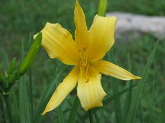 Daylily - Star Dream