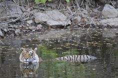 Wading Pool by Toby Sinclair Species: Tiger   Location: Kanha National Park & Tiger Reserve, India  Kanha National Park in India was once a hunting ground for imperial rulers, but today is one of India's most important conservation reserves. We encountered this tiger at the Banjaar River on the southwestern edge of the park.  Learn what WWF is doing to help protect the tiger.