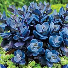 Blue Pearl Sedum (perennial, full sun, low water/drought tolerant) Ideas for my blue garden Full Sun Perennials, Full Sun Plants, Zone 4 Perennials, Full Sun Garden, Sun Loving Plants, Succulent Landscaping, Backyard Landscaping, Luxury Landscaping, Landscaping Ideas