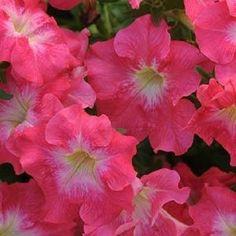 Petunia Flower Seeds Dreams Coral Morn 1,000 Pelleted Petunia Seeds BULK SEEDS #PetuniaSeeds
