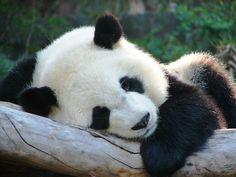 its a baby panda! Super Cute Animals, Cute Baby Animals, Animals And Pets, Funny Animals, Panda Bebe, Cute Panda, Panda Art, Panda Panda, Young Animal