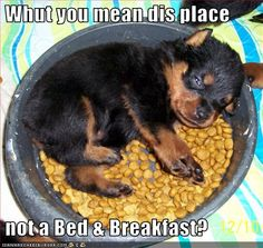 what do you mean..?? #Rottweiler #dog #pups