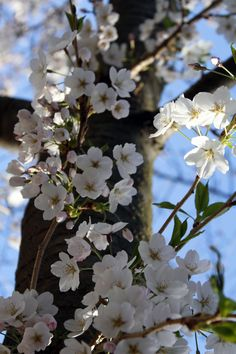 Cherry Blossoms,flower,nature,photography,tree,pretty