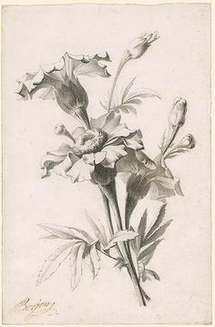 Oeillets d'Inde ou Tagetes. Antoine Berjon | Study of a Flower | Drawings Online | The Morgan Library & Museum