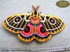 Zaddachi's Emperor moth (Bunaeopsis zaddachii) from Kenya. Cool Insects, Flying Insects, Bugs And Insects, Beautiful Bugs, Beautiful Butterflies, Colorful Moths, Emperor Moth, Mantis Religiosa, Bull Elephant