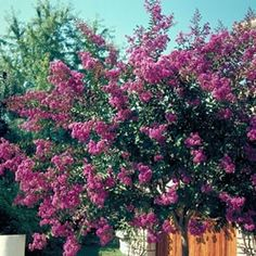 Lagerstroemia 'Terre Chinoise®'