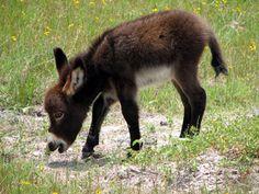 baby donkey. Rockport, Texas
