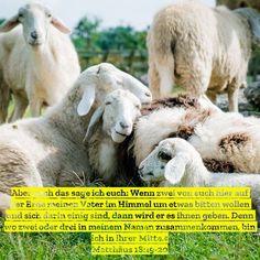 #zusammen #miteinander #einheit #beten #gebet #gemeinschaft #gemeinsam #gebetsgemeinschaft #kraft #autorität #jesus #gott #heiligerGeist #bibel #bibelvers #stewi #schaf #schafe #wiese #kuscheln #kuschelig Animals, Father In Heaven, Holy Spirit, Community, Pray, Sheep, Animais, Animales, Animaux