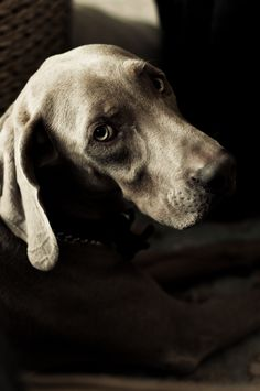 This isn't my dog but I I didn't know better, I'd think it was. Totally identical puppy eyes. #weimaraner