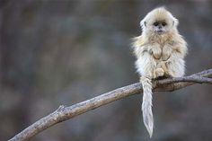 Animales En Peligro De Extinción.....Langur Chato
