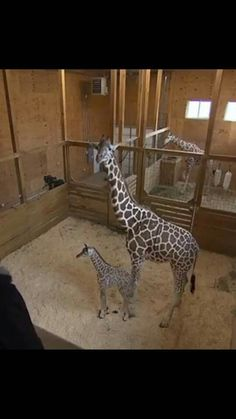 5-1-2017. He gets,a name TAJIRI, and grew 5 inches. Now at 6 foot Giant Giraffe, Baby Giraffes, Animals And Pets, Cute Animals, Pet Remembrance, Gentle Giant, Mother And Baby, Animals Beautiful, Animal Pictures