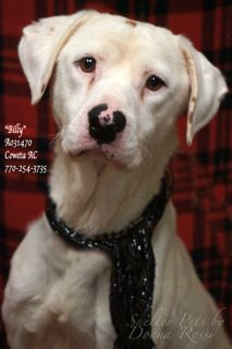 """B-2  EXTREMELY URGENT!   1/11/16 BILLY~   Gentle & sweet                               •Breed:     English Pointer Mix •Sex:         Male •Age:         Adult (Approximately 5 years old per shelter notes)               •Size:        Medium   •Weight:   53 lbs per shelter notes •ID:           A031470 •Shelter Name:  """"Billy"""" •Vaccinated, Heartworm NEGATIVE ~ PLEASE CONTACT COWETA COUNTY ANIMAL CONTROL TO ADOPT THIS PET: 770-254-3735. The address is 91 Selt Road, Newnan, GA."""