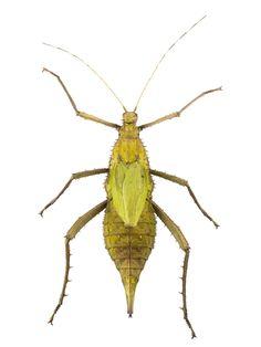 Heteropteryx dilatata, stick insect, dried specimen