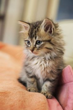 Top 5 Most Affectionate Cat Breeds