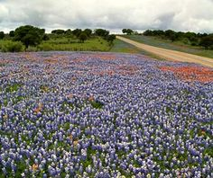 Bluebonnet Trail Texas Between Austin And Houston Lies The Lone Star States Most Beautiful Scenery Especially From March To May When Wild Bluebonnets