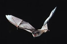 flying bat drawing - Google Search