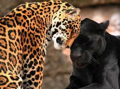 great shot of a jaguar and a black jaguar (commonly called black panther)