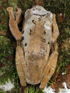 rhacophorus harrissoni, gunung mulu national park, sarawak, malaysia