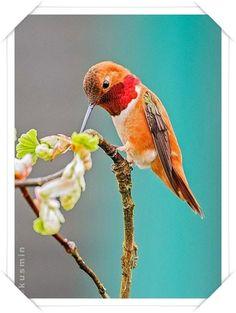 Kızıl Sinekkuşu