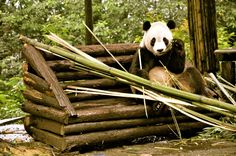Cute Panda Eating Chengdu China Travel