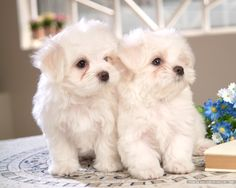 Maltese pups.. little harley babies
