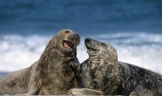 Two grey seals appear to be sharing a joke on the beach in Heligoland, Germany. Photograph: Thorsten Milse/Robert Harding/Barcroft Medi