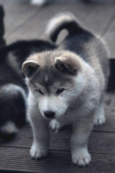 + Velvet Rope + • envyavenue: Alaskan Malamute Pup