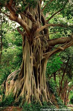This tropical tree reveals truths and keeps secrets.  What it does with light is…