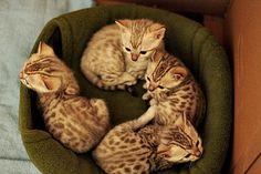 littles bangals