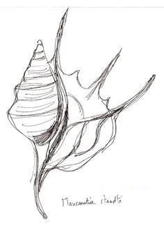 Maussenetia staadti composite