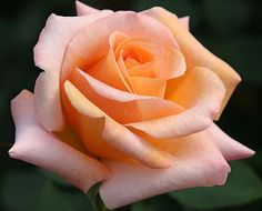 "Special Occasion:  Fryers of England created this rose of both great beauty and fragrance. The classically shaped 4-5"" flowers (petals 25+) are a blending of apricot and copper, which is a very popular color shading. A continual blooming bushy plant with lovely, shiny, dark green foliage.  Zone 6-10"