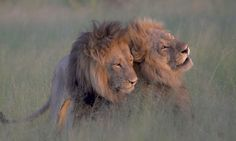 Photographer Captures Two Male Lions 'Mating' In Botswana   Homosexual behaviour among animals