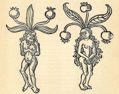 Drawings of the Mandrakes