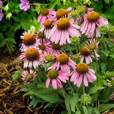 Compact, Heavy blooming Echinacea.  Must add to my coneflower garden!
