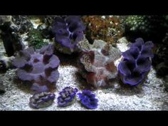 Tridacna Clams - The Reef Corner