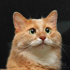 "From @kawauso_cats: ""My lovely cat Moca  photographed near the window at night. "" #cutepetclub by: @cutepetclub"