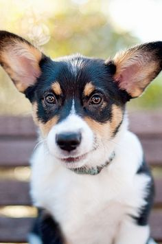Black, tan and white puppy