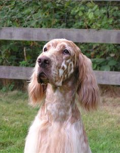"Amateur Field Champion , Show Champion Set'r Ridge's Everlasting Master Hunter OFA Excellent ""Sahara"" Eukanuba Bred By Group winner, BOS National , BOS Westminster, Best In Specialty winner and an amazing Hunting Dog. www.englishsetter.com"