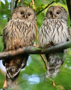 Ural Owls Strix uralensis Pinned by www.myowlbarn.com