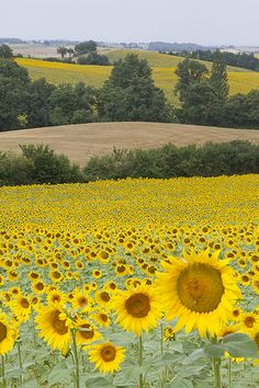 Sunflowers as far as the eye can see -- Gascogne, France...  <3<3