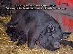 Mulefoot Hog  Today, the Mulefoot is the rarest of American swine breeds.The most distinctive feature of the American Mulefoot hog is the solid hoof which resembles that of a mule. The Mulefoot is a large docile, black hog