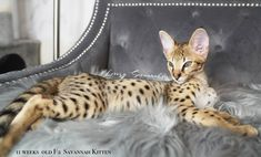 wow beautiful f2 savannah kitten Savannah Cat Breeders, Savannah Kittens For Sale, Savannah Chat, Serval Kittens For Sale, Kitten For Sale, Las Vegas, Cats, Animals, Beautiful