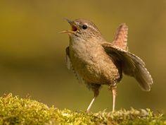 Small Birds, Wren, Singing, Little Birds