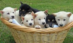 Sake the Shiba Inu and siblings in a basket!