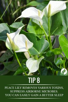 Peace Lily = allergies, irritated nose / better sleep