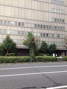 名古屋市内の中央分離帯に百日紅が咲いてる^^