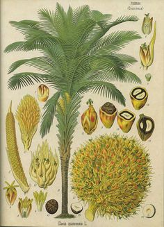 Botanical illustration of the African oil palm (Elaeis guineensis) from Omnius Botanicus, 1821