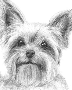 Yorkshire Terrier Drawing by Kate Sumners - Yorkshire Terrier ... #yorkshireterrier